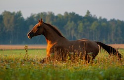 Chestnut russian don breed horse running in the summer green field. Animal in motion.