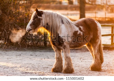 Chestnut skewbald horse in a snowy field. The rising sun catches its mane. Cold breath streams from its nostrils. Focus is on the face with a narrow depth of focus. Horizontal format & space for copy.