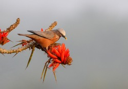 Chestnut-tailed starling portrait with flower.The chestnut-tailed starling or grey-headed starling or grey-headed myna is a member of the starling family.