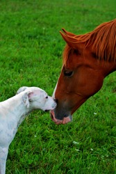 Chestnut Tennessee Walker horse and white English Bulldog mix deciding if they want to be friends