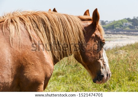 Chestnut Trait Breton horses in a field near the coast in Brittany