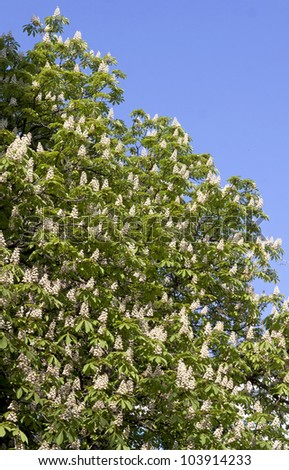 Chestnut tree branches with white blossoms
