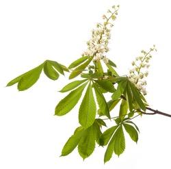 chestnut tree flower - isolated