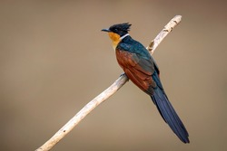 Chestnut winged Cuckoo on a branch. Bird.