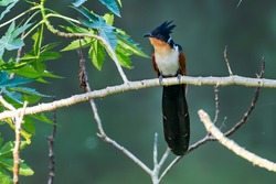 Chestnut-winged Cuckoo. Uncommon winter visitor and passage migrant. Lowland bird. Often feeds on or close to ground. [IUCN Red list category:  Least Concern (LC)]