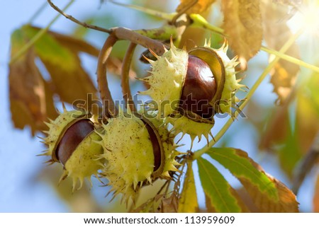 Chestnuts against the sky