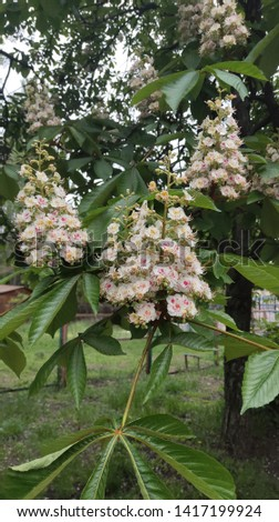 chestnuts bloom beautifully in Kiev in May