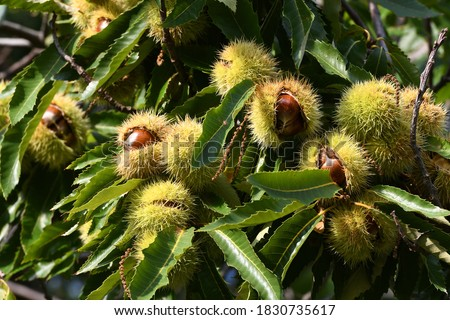 Chestnuts in hedgehogs hang from chestnut branches just before harvest, autumn season. Chestnuts forest on the Tuscany mountains. Italy. Foto stock ©