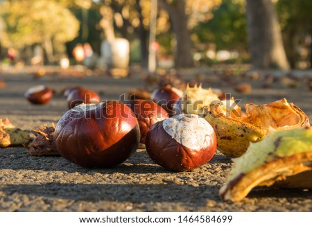 Chestnuts on the ground. Bitter horse chestnuts outdoor autumn park. Foto stock ©