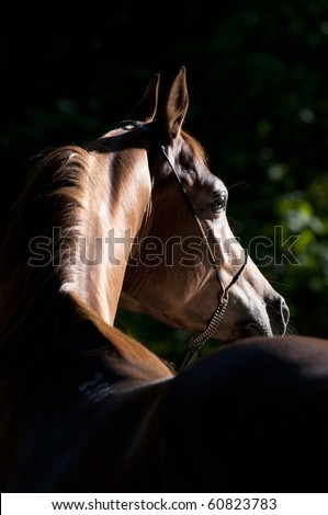chetsnut arabian horse portrait in dark