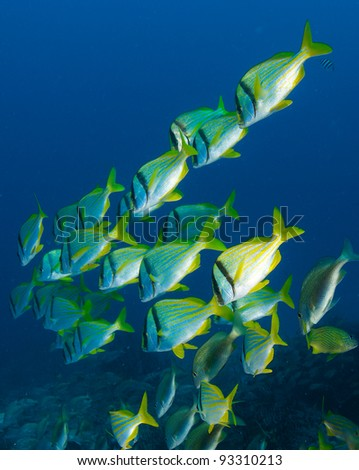 Chevron Shaped School of Porkfish