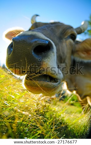 chewing cow - stock photo