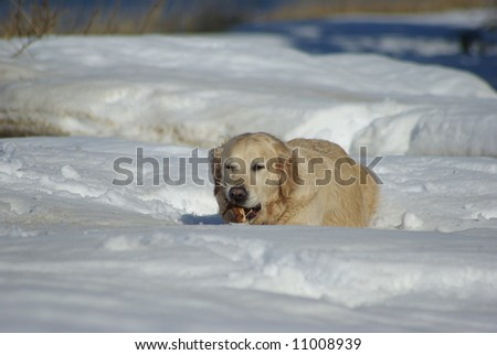 Chewing the stick in winter - stock photo
