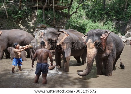 CHIANG MAI, THAILAND - AUGUST 11, 2015 : Foreigner Tourist have activity to experience the local lifestyle and bathing with elephant in river. Famous Activity fot the tourist in Chiang Mai, Thailand. #305139572