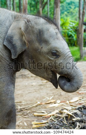 CHIANG MAI, THAILAND - June 14, 2012: Baby elephant profile with trunk in its mouth. There are many conservation park in Chiang Mai.