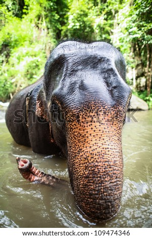 CHIANG MAI, THAILAND - June 14, 2012: Mature elephant sits in the middle of the waterfall, river with its head poking out. There are many conservation park in Chiang Mai.