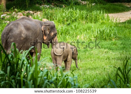 Chiang Mai, THAILAND - June 16, 2012: Mother elephant teaching, caring for her baby elephant in the middle of the forest.