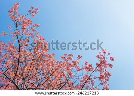 Chiangmai Thailand wild himalayan cherry prunus cerasoides like sakura in Doi-Khun-Wang