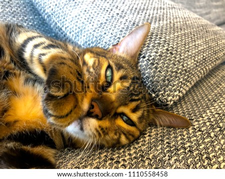 Stock Photo chic Bengali domestic cat rest on the couch, Bengal cat rosette brown cat washing on the back