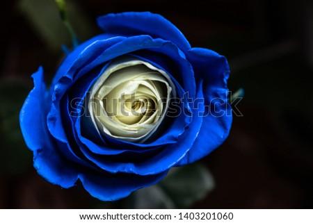 Chic blue-beige rose on a dark background #1403201060