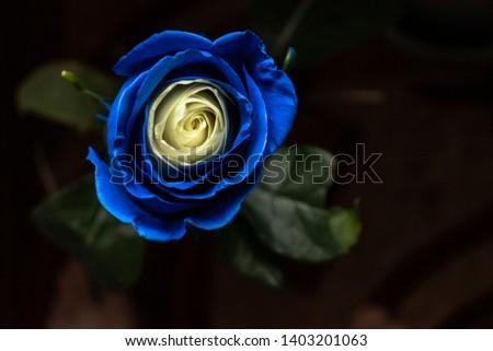 Chic blue-beige rose on a dark background #1403201063