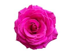 Chic Pink Purple Rose Macro On White Background