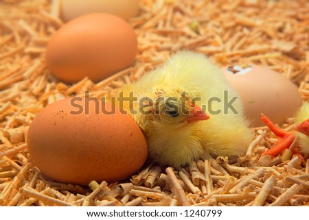 chick hatched from egg