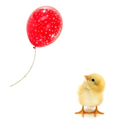 Chick is looking up at the flying red balloon conceptual photo about ambition in life