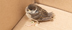 Chick of a house Sparrow. An  baby bird in a cardboard box.