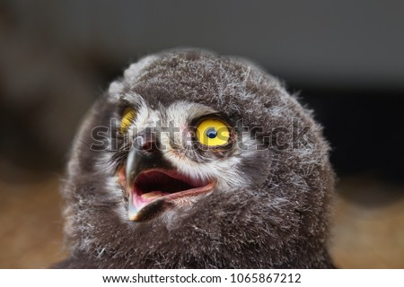 Chick of Eurasian Eagle-owl - detail picture of head with large yellow eyes and open raptor beak