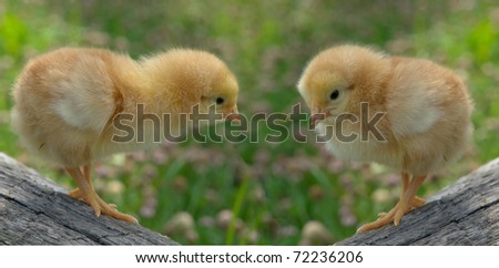chick on a green background
