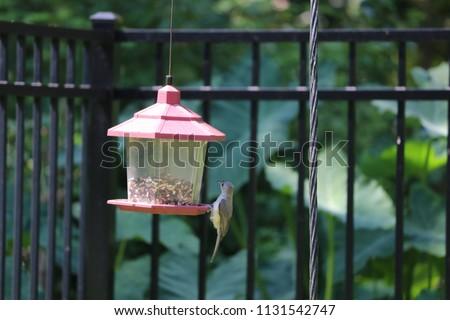 Chickadee titmouse songbird bird perched on backyard feeder.