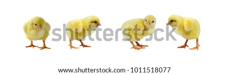 Chicken and adorable chicks isolated on white background