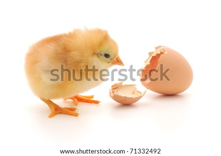 Chicken and an egg shell on white background - stock photo