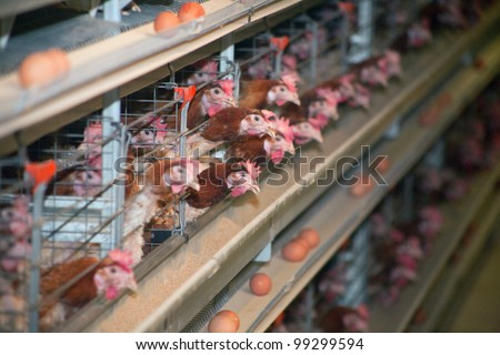 chicken at the poultry farm lay eggs