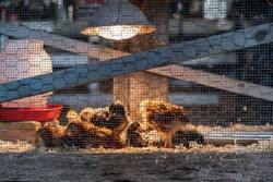 Chicken brooder used for caring for young chicks in a cage with a heat lamp for warmth