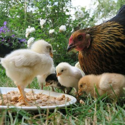 chicken chick, cute, lively, freshly born on the 1st outing with the mother on the farm