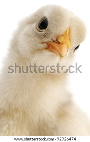 chicken close-up isolated on white background - stock photo