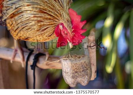 Chicken closeup, hen closeup,rooster closeup,wildlife  #1375570577