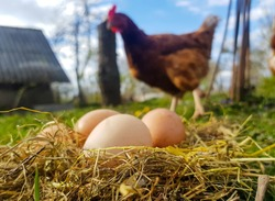 Chicken eggs in a nest of hay. A hen stands in the background of the nest. Photo from mockup