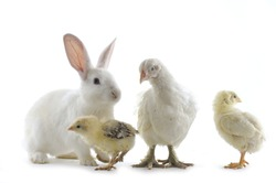 chicken family and rabbit