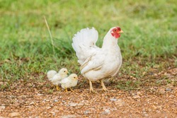 chicken family in the field of grass