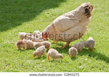 chicken family on green lawn