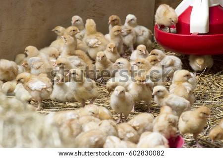 chicken farm #602830082
