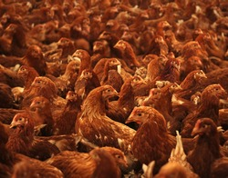 Chicken farm, eggs and poultry production, feeding chickens in modern breeders