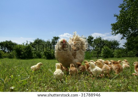 Chicken feed their young chicks