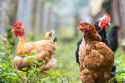 Chicken feeding on traditional rural barnyard. Hens on barn yard in eco farm. Free range poultry farming concept.