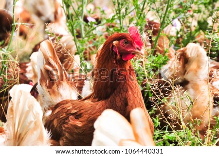 chicken free range #1064440331