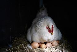 Chicken hen sits on eggs