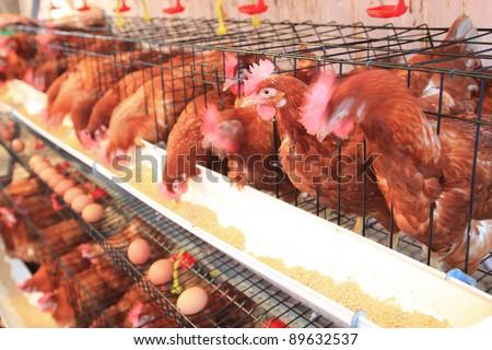 chicken hens eggs in farm